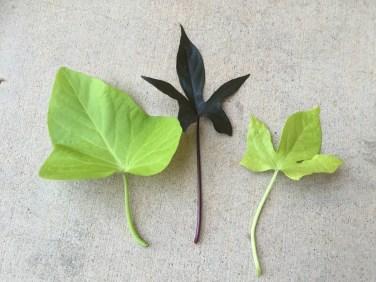 3 types of sweet potato vine