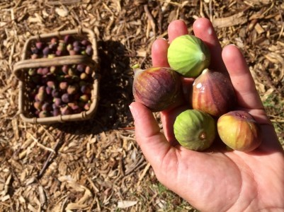 Handful of figs