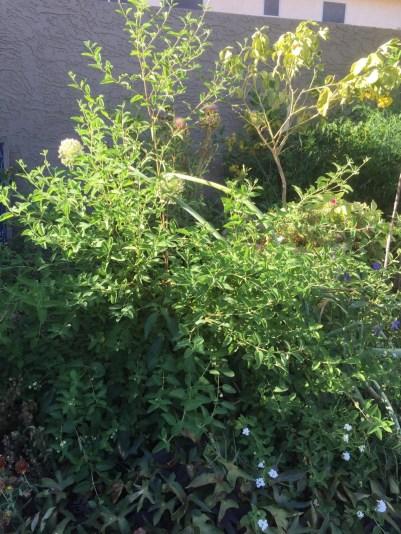 Mexican Oregano in the garden