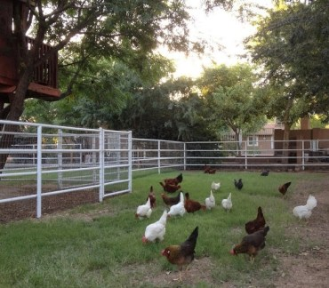 2013-chickens-on-pasture