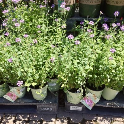 Nursery plants for arizona bees—gooding's verbena