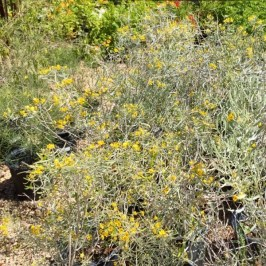 Nursery plants for arizona bees—native
