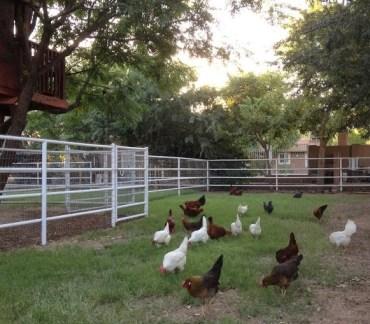 2013-chickens-on-pasture