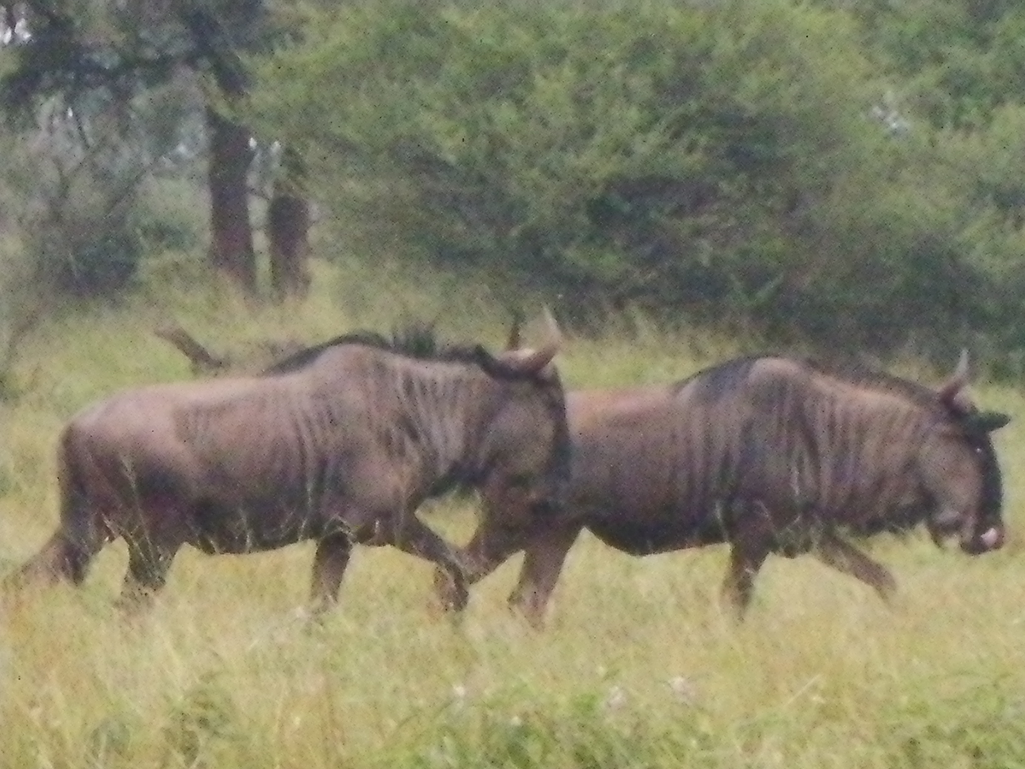 Wildebeest at Thakadu Lodge
