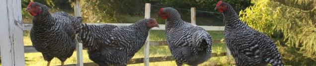 cropped-hens2.jpg