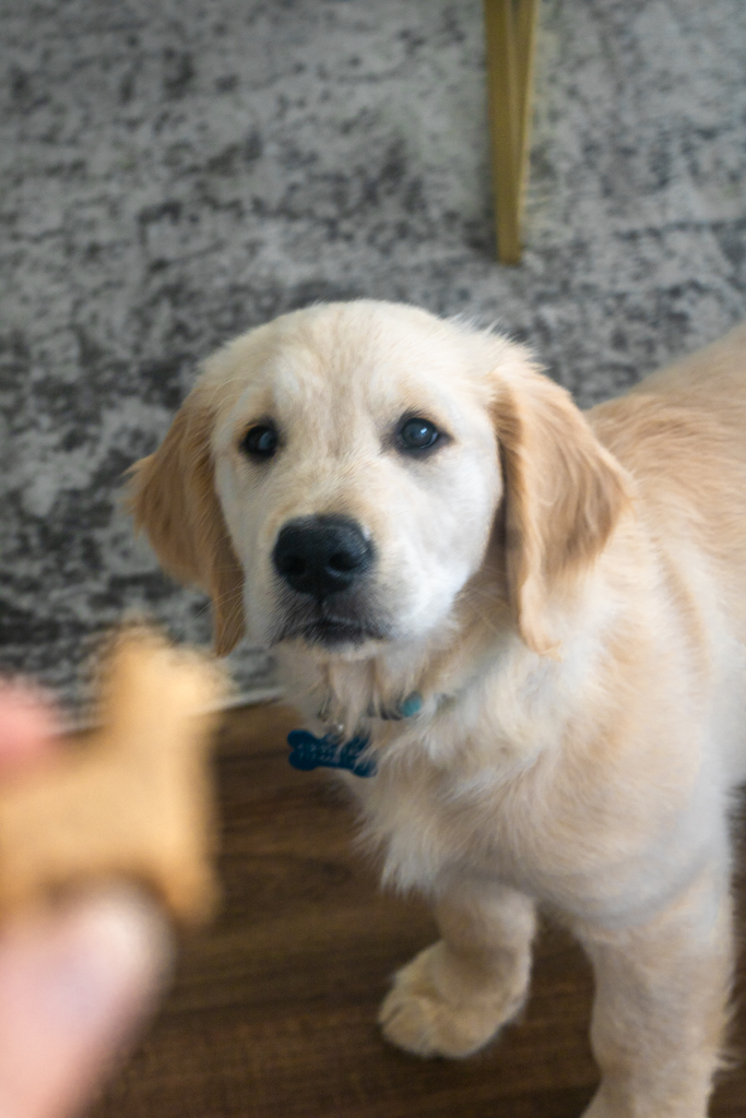 golden retriever puppy looking at hand holding treat