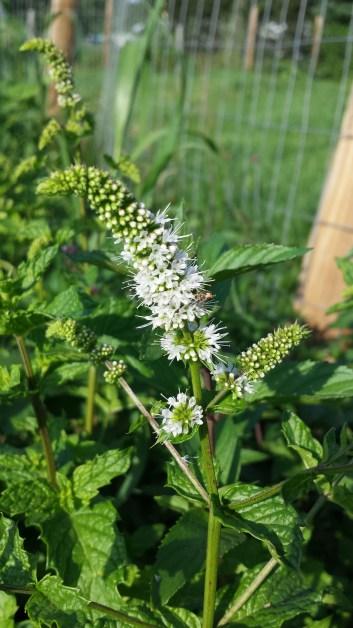 Mint Blooms Summer 2016
