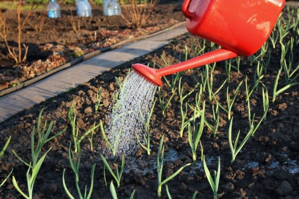 How to care for garlic plant
