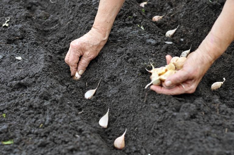 planting garlic garlic matters. Black Bedroom Furniture Sets. Home Design Ideas