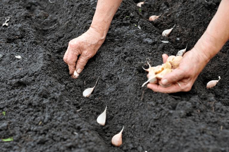 Planting Garlic Seed