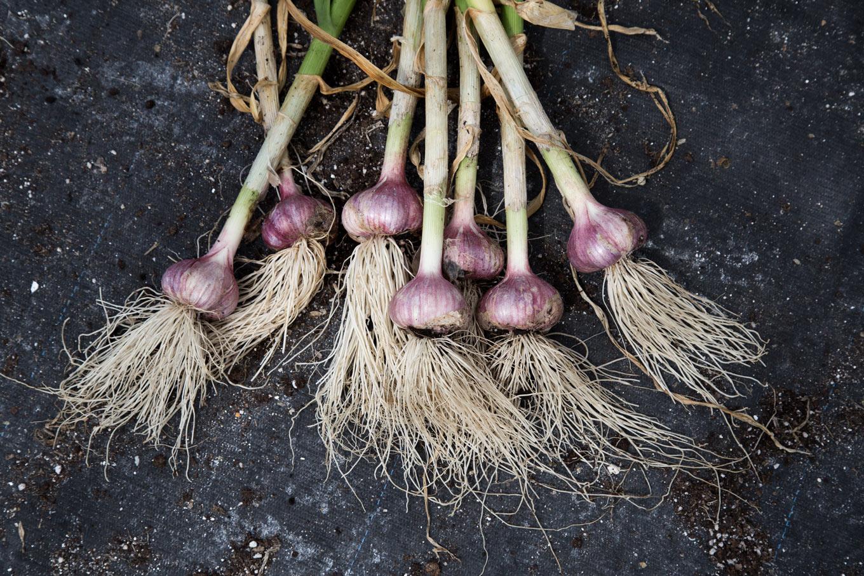 Purple Check Garlic