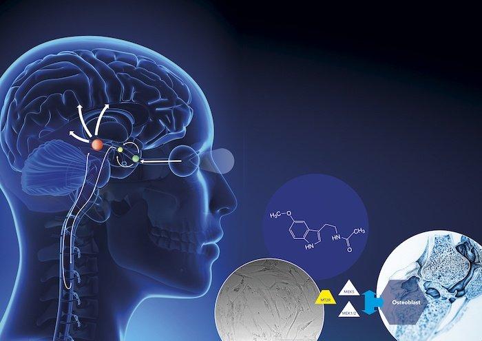 melatonin improves memory