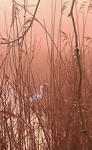 Early January misty morning Great White Egret