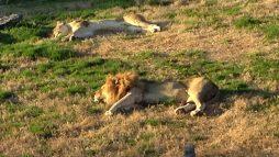 Lion around at the Virginia Zoo