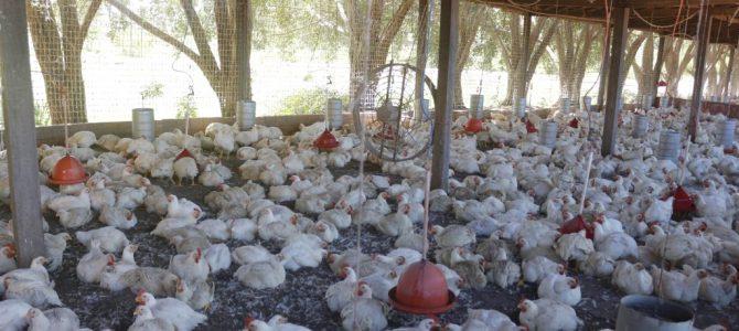 Redução de ICMS para a cadeia avícola aumenta produção e gera empregos
