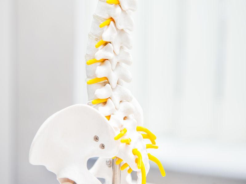 Close up human loins spine skeleton model.