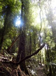 More enchated Forest, Dorrigo Rainforest