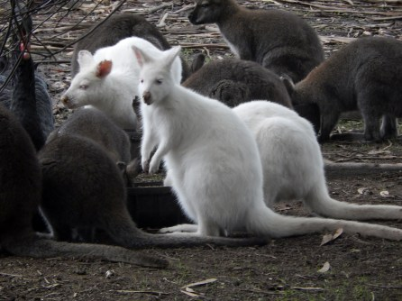 Day 19 Kangaroo Island Wildlife Park 2016-06-06 (15)
