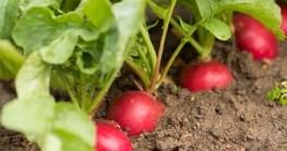 Erdbeeren und Radieschen zusammen pflanzen