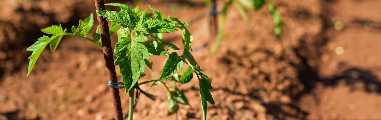 Was kann man zu Tomaten pflanzen