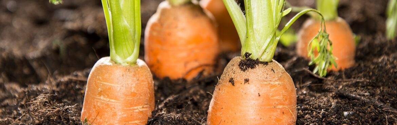 Karotten anpflanzen und ernten