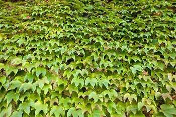 Efeu - Kletterpflanze die den ganzen Sommer blüht