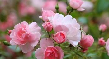 Wie oft soll man Rosen düngen