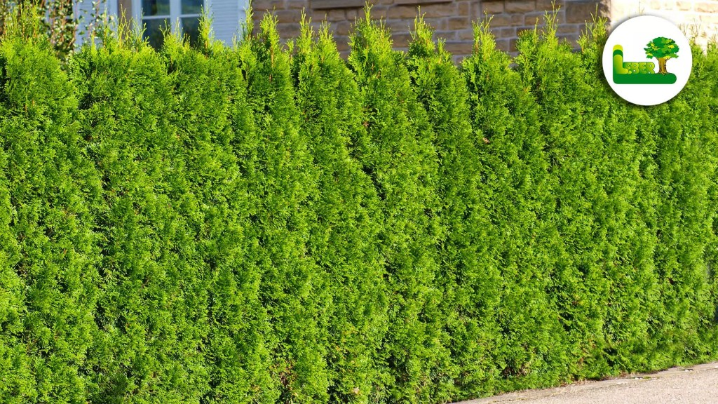 Thuja occidentalis Smaragd Hecke. Die perfekte Lösung für Ihre Hecke.