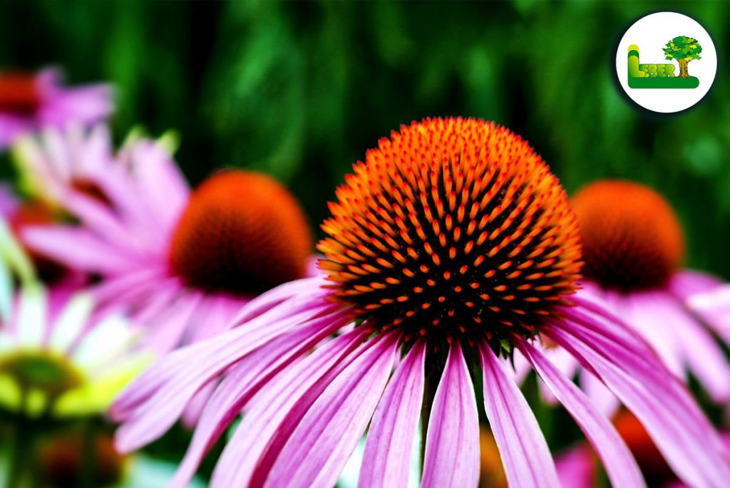 Echinacea purpurea 'The King' - Roter Sonnenhut - Steiermark. Garten Leber