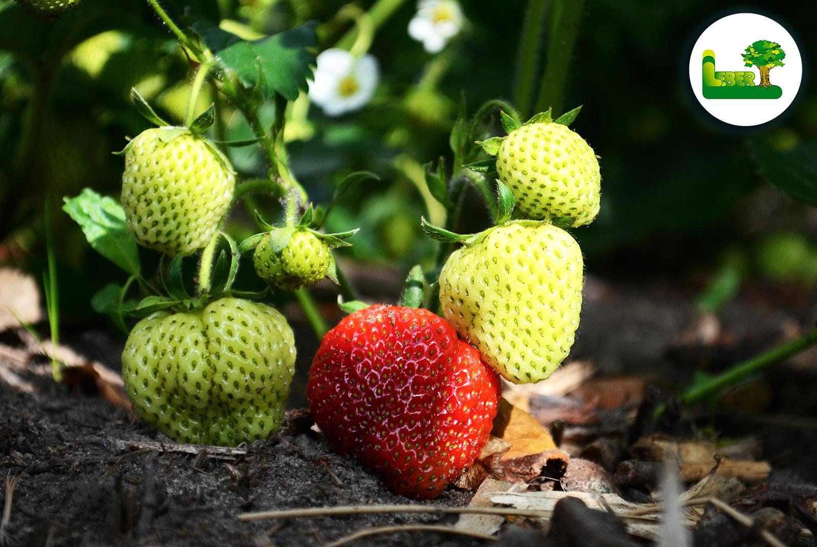Leckere Erdbeeren - eine rote Erdbeere viele grüne. Erdbeerstrauch - Steiermark Garten Leber