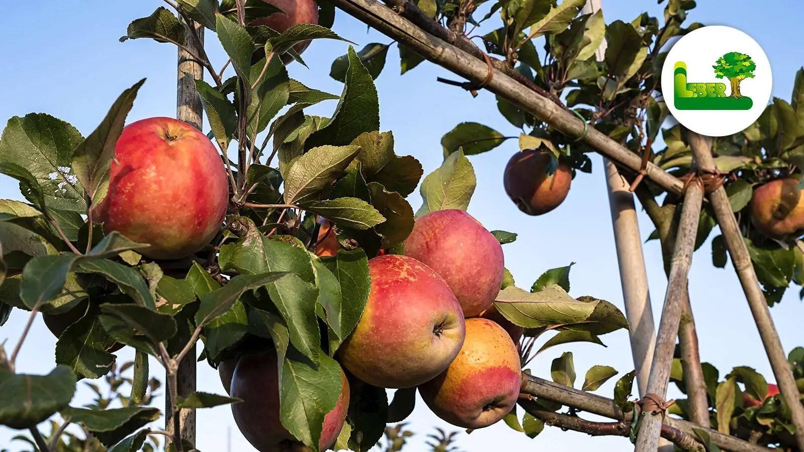 Apfelbaum im eigenen Garten. Malus domestica aus Spalier. Garten Leber Steiermark.