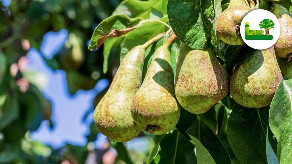 Die Conference-Birnen direkt vom Baum. Sie haben eine raue und stark rostige Optik. Birnbaum im eigenen Garten?