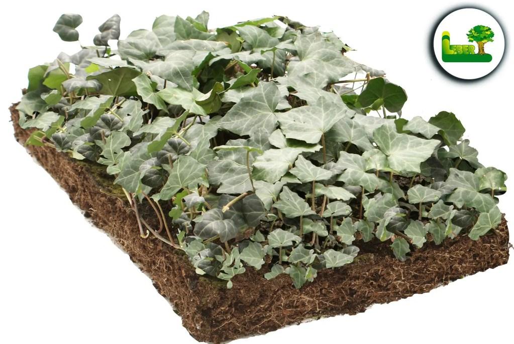 Efeu Bodendeckermatte von Covergreen®