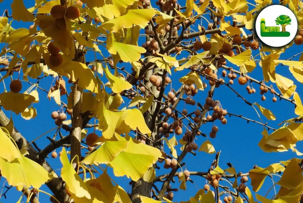 Der Ginkgo biloba mit gelber Herbstfärbung und Früchten.