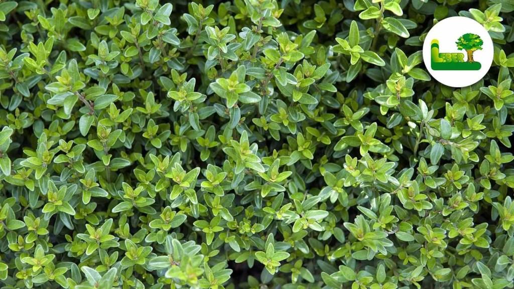 Immergrüne Heckenkirsche, auch Heckenmyrthe. Sie wird botanisch auch Lonicera nitida genannt.