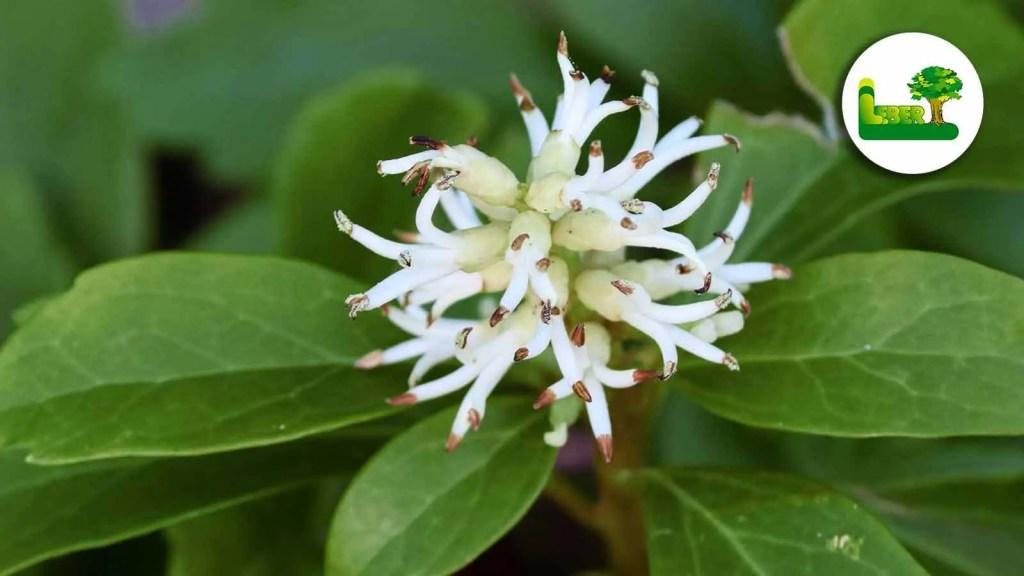So sehen die Blüten des Dickmännchens aus. Ein beliebter Bodendecker der botanisch Pachysandra terminalis genannt wird.  Jedoch empfehlen wir das setzen bzw. begrünen von Flächen, die nicht in unmittelbaren Wohnfeld liegen.