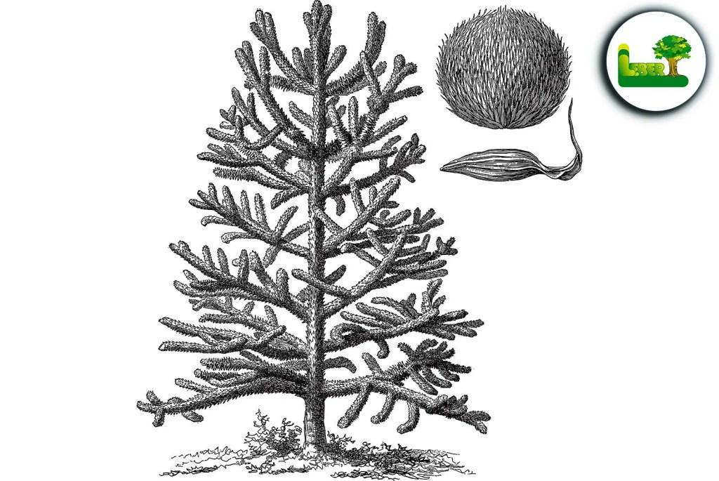 Affenschwanzbaum wird auch Monkey-puzzle Tree und Andentanne genannt. So sieht die Wuchsform eines kleinen Baumes aus. - Garten Leber Steiermark.