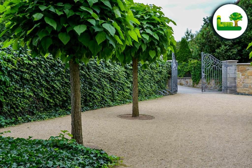 Der Kugeltrompetenbaum kann auch als Allee gesetzt werden.