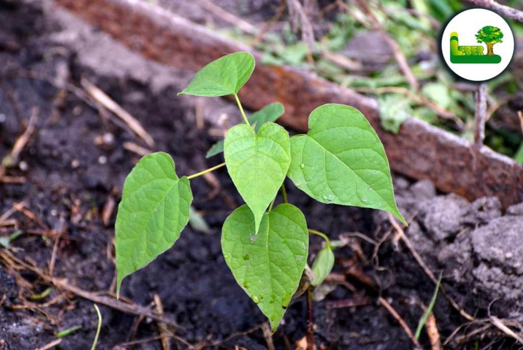 Gewöhnlichen Trompetenbaum mit Stecklingen vermehren.