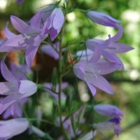 Glockenblumen aus der Ritze