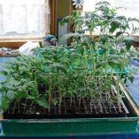 Vor dem Umpflanzen