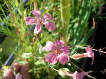 Vier zarten rosa Blütenblätter