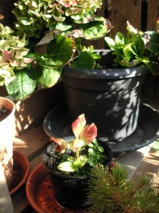 Leicht bräunliche und mittlerweiler mit grünen Blütenblättern: Mutterpflanze in großen Topf im Hintergrund. Im Vordergrund kleiner Topf mit jungem Ableger.