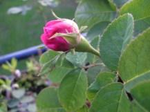 Nahaufnahme einer kleinen, runden rose-farbenden Blütenknospe an einer Rose.