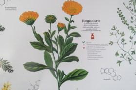 Abbildung einer Ringelblume mit nebenstehendem Text (unleserlich)