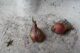 Kleine, dunkelbräunliche Zwiebeln mit einer strukturierten Haut, die grün austreiben