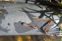 Kleine stöckähnlich aussehende Raupe auf dem Rand des Gartenteichs. Gerade wie ein Stock