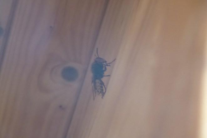 Eine Hornisse oder eine Wespe auf einem Holzuntergrund, neben einem Astloch