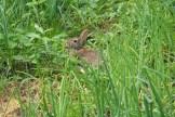 Neugieriges Kanninchen zwischen hohem Grün