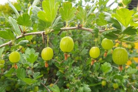 Grüne, traubenähnliche Früchte an einem Zweig mit nach oben zeigenden Blätter